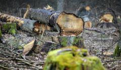 Drewno pozyskane z wycinki na terenie Puszczy Bialowieskiej