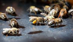 Honeybees in GermanyNahaufnahme von Honigbienen