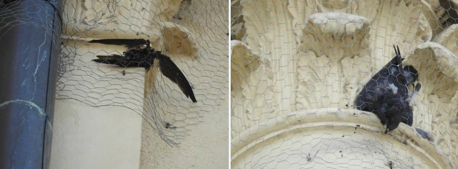 Zaplątane w siatkę na elewacji kamienicy ciała martwych jerzyka (L) i gołębia (P), fot. Ptasi Patrol