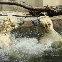 Niedźwiedzi polarne w warszawskim ZOO. Fot. Ewa Ziółkowska / ZOO Warszawa?