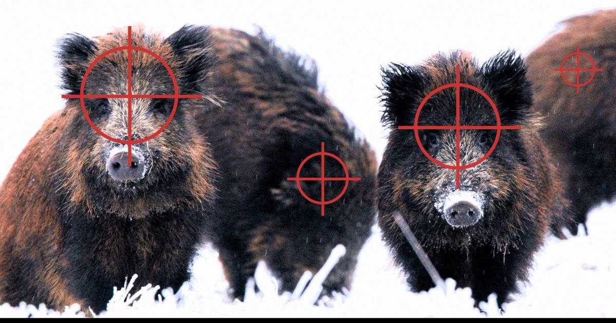 Ilustracja przedstawia stado dzików. Na każdym zwierzęciu widać symbol celownika