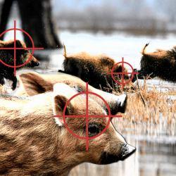 Ilustracja przedstawia uciekające stado dzików. Na każdym zwierzęciu widać symbol celownika