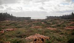 Wycinka drzew pod przekop Mierzei Wislanej