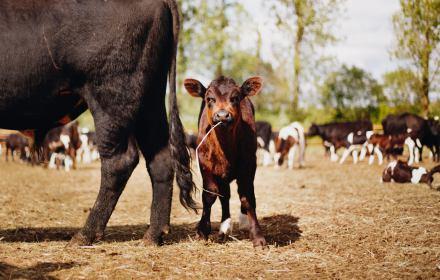 Krowy i miłosierdzie PiS. Wolne zwierzęta prędzej czy później mają trafić do rzeźni