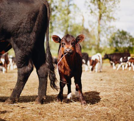 Dzikie krowy można uratować. Nie tylko 185, ale nawet 500. Teraz wszystko w rękach Lekarza Weterynarii