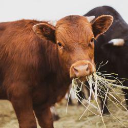 wolne krowy