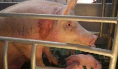 Świnia w klatce