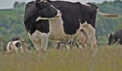 Na zdjęciu: piękna krowa z Deszczna, lekko zdziwiona