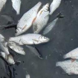 Martwe ryby pod Włocławkiem