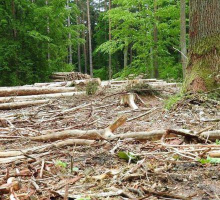 100 tys. drzew chcą znów wyciąć w Puszczy Białowieskiej. To zagłada gatunków chronionych