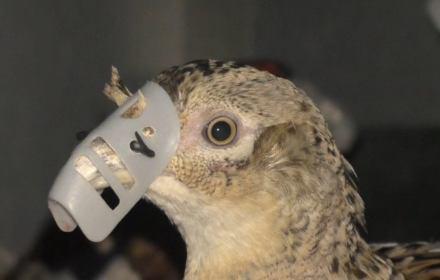 """Ptaki w """"kagańcach"""". Eksportujemy bażanty, by brytyjscy myśliwi mogli zabijać je dla rozrywki"""