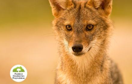 Chrońmy szakala i wilka przed odstrzałem! [PETYCJA]