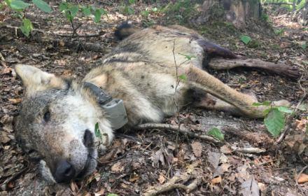 Myśliwi zabili dwa wilki. Jeden osierocił szczenięta.