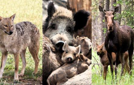 Jelenie, łosie, szakale, dziki, bobry. Wilki też? Dzikie zwierzęta na celowniku PiS