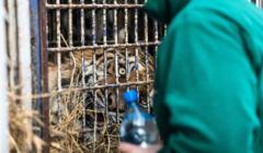 Zatrzymane tygrysy z Wloch na przejsciu granicznym z Bialorusia w Koroszczynie
