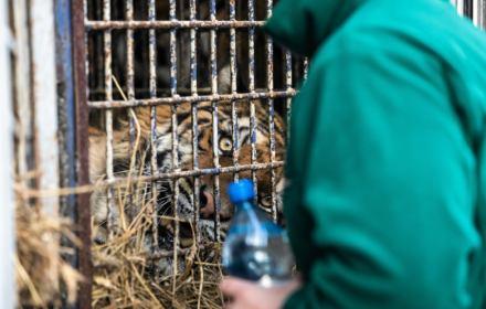 Trwa akcja ratowania tygrysów. Polska potrzebuje azylu dla dzikich zwierząt