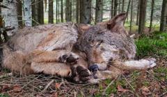 kolejny-zabity-wilk