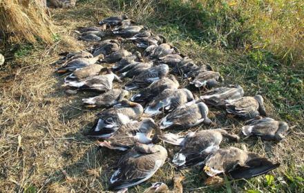 Aż 94 proc. Polaków nie chce polowań na ptaki. 67 proc. za całkowitym zakazem