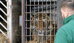 Jeden z tygrysów uratowanych na granicy