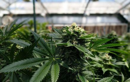 """""""Marihuana? Chyba pani zwariowała"""". 2 lata po legalizacji pacjenci wciąż leczą się w tajemnicy"""