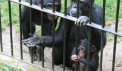 Szympansy w gdańskim ZOO