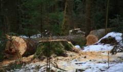 las jęczy w rezerwacie_oddzial41_04