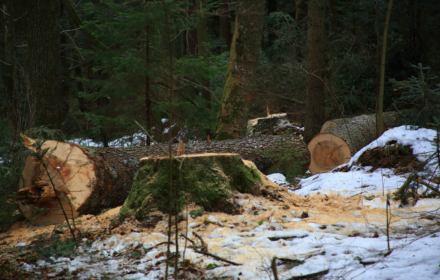 """Tną Puszczę Karpacką. Ekolodzy chcą rezerwatów, a Tokarczuk apeluje: """"Zatrzymajmy katastrofę"""""""