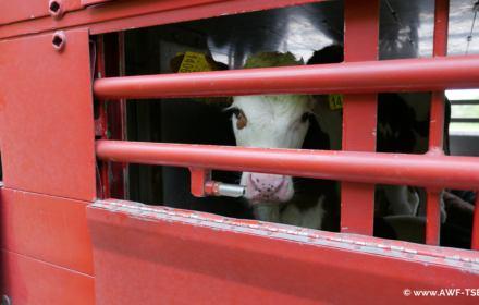 """""""Umierają w tych samochodach"""". Koronawirus zatrzymał na granicach transporty zwierząt"""
