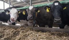 Hodowla zwierząt to 70 proc. emisji CO2 z rolnictwa