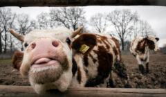 krowy cierpienie