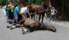 koń padnięty na drodze do Morskiego Oka