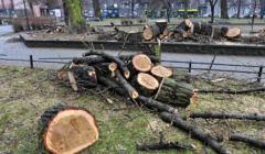Wycięte drzewa w parku