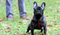 pies na smyczy – buldożka francuska Tosia