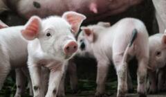 Świnie, na pierwszym planie prosiaczek