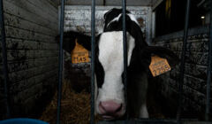 dairy calf investigation Grana Padano farm-8_essere animali