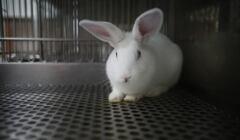królik doswiadczalny
