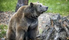 Uratowany niedźwiedź Baloo
